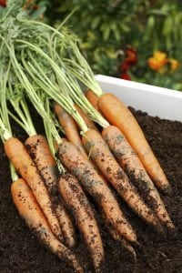 Carrots are great when mashed-up